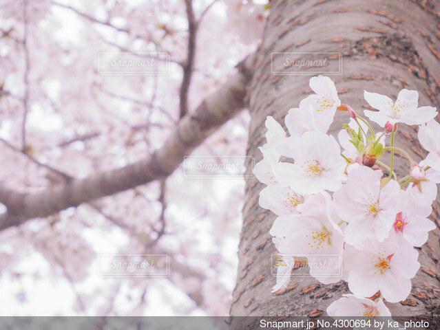 桜の木の幹に咲いている花のクローズアップの写真・画像素材[4300694]