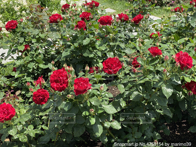 薔薇園の写真・画像素材[4758154]