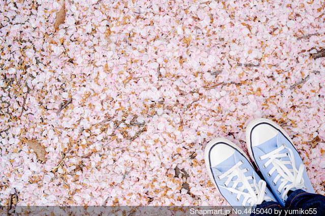 青いスニーカーと桜絨毯の写真・画像素材[4445040]