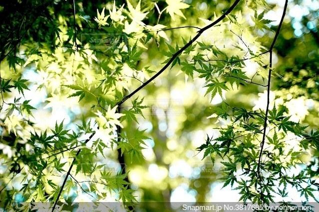 色づく前の写真・画像素材[3817685]