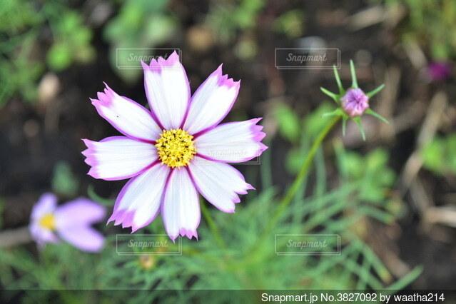 ピンクのコスモスと蕾の写真・画像素材[3827092]
