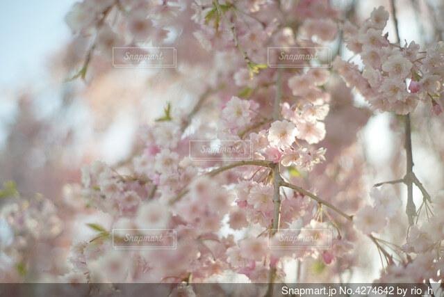 枝垂れ桜の写真・画像素材[4274642]