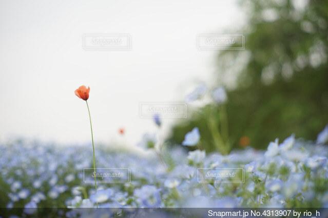 一輪のヒナゲシの花の写真・画像素材[4313907]