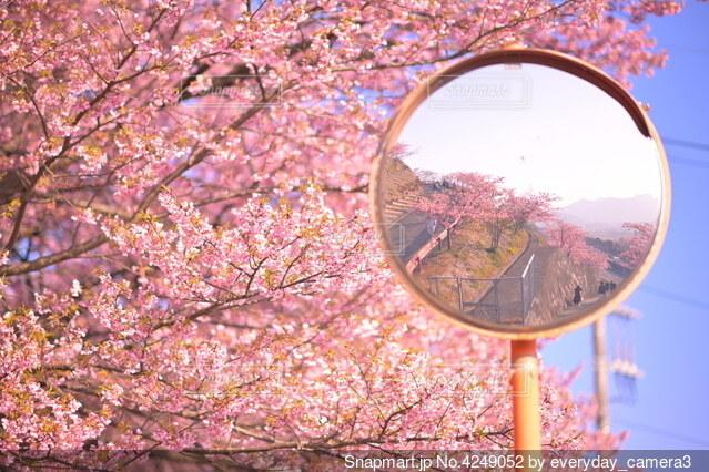 カーブミラーの先も満開の桜の写真・画像素材[4249052]
