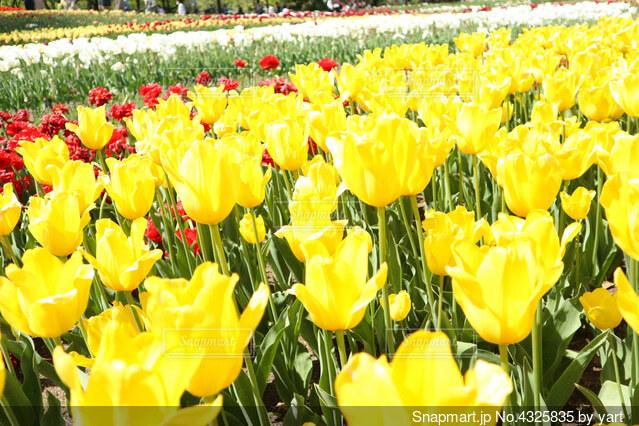 チューリップ畑で咲き誇る黄色いチューリップの写真・画像素材[4325835]
