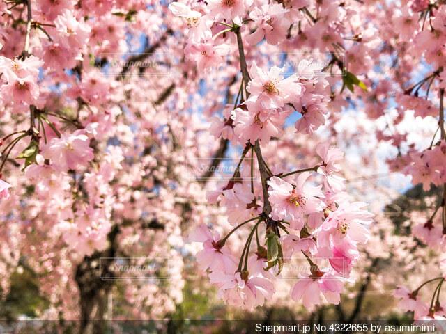 枝垂れ桜が満開でしたの写真・画像素材[4322655]