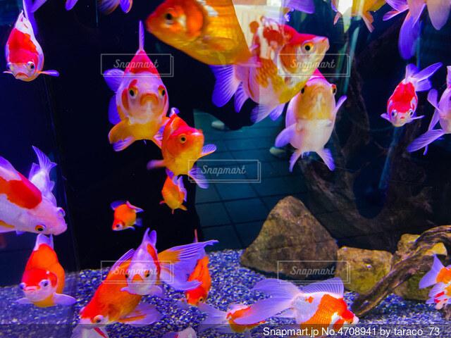 金魚の写真・画像素材[4708941]