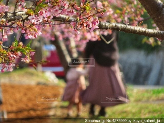 親子で桜並木を散歩の写真・画像素材[4275999]