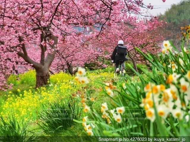 河津桜と菜の花とスイセンが咲き誇る通学路の写真・画像素材[4276023]