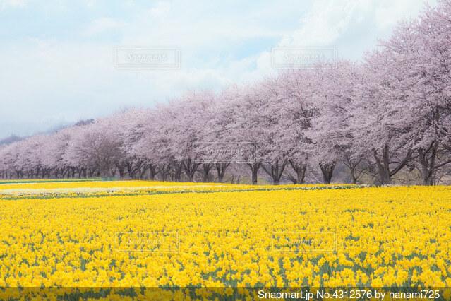 桜&すいせんの写真・画像素材[4312576]