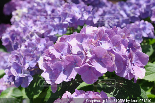 紫色の紫陽花の写真・画像素材[4619238]