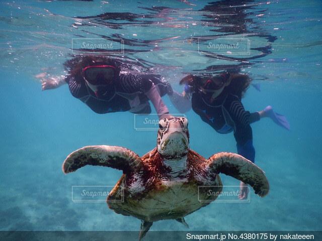 ウミガメとシュノーケルをする女性の写真・画像素材[4380175]