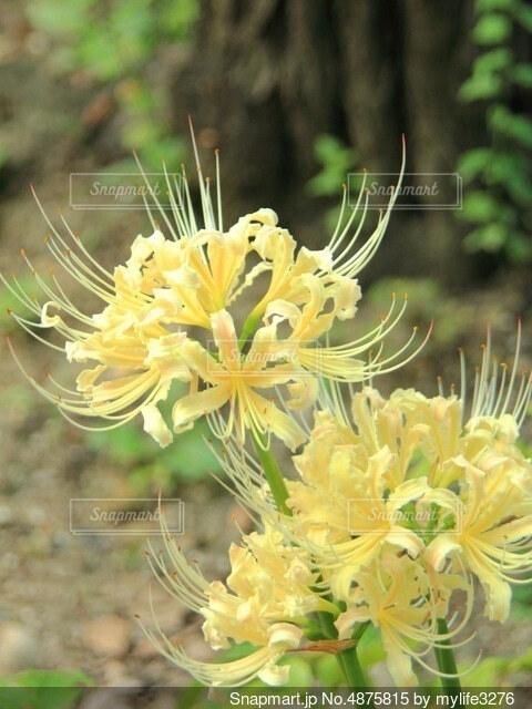 黄色の曼珠沙華の写真・画像素材[4875815]