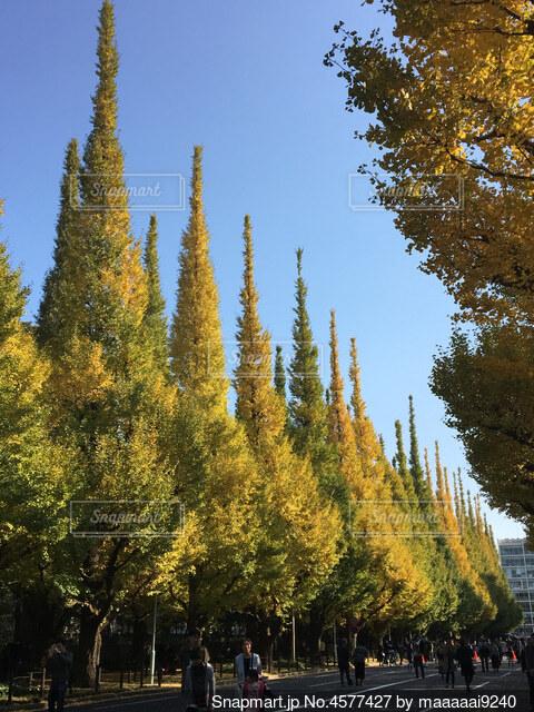 外苑前のイチョウ並木の写真・画像素材[4577427]