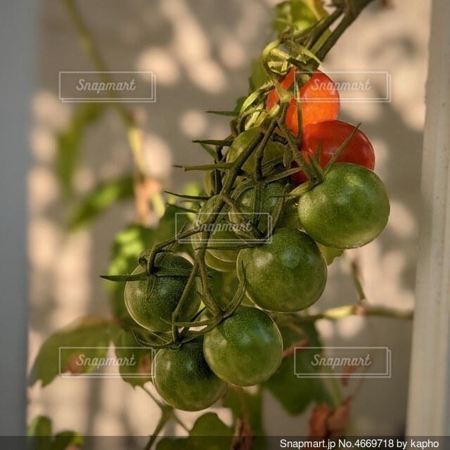 収穫前、まだ緑色のプチトマト。2つだけ赤く色づいています。の写真・画像素材[4669718]