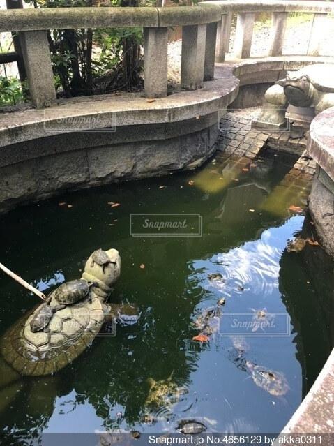 京都の籠神社の亀の写真・画像素材[4656129]