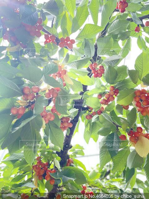 さくらんぼの木の写真・画像素材[4664035]