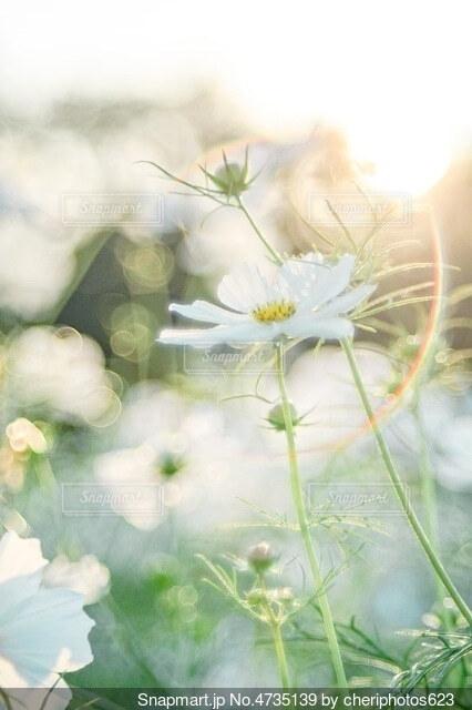 花言葉は優美の写真・画像素材[4735139]
