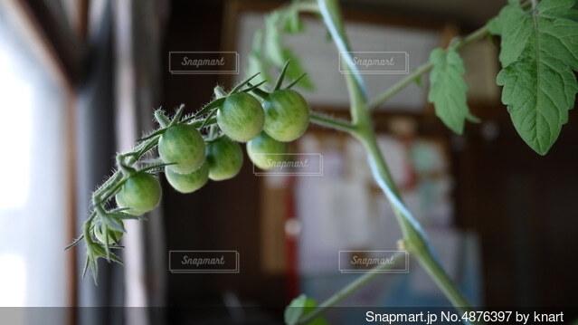 ミニトマトの写真・画像素材[4876397]