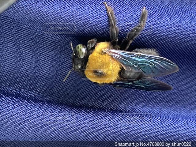 青いズボンに捕まるハチの写真・画像素材[4768800]
