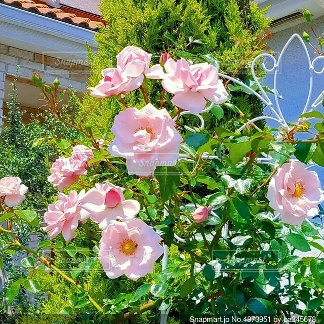 薔薇 ニュードーンの写真・画像素材[4873951]