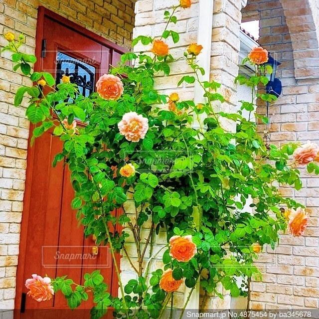 レンガに薔薇 ポルカの写真・画像素材[4875454]