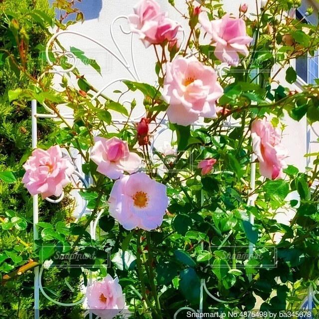 白壁に薔薇 ニュードーンの写真・画像素材[4875498]