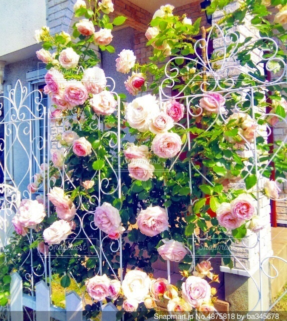白いフェンスと薔薇 ピエール・ドゥ・ロンサールの写真・画像素材[4875818]