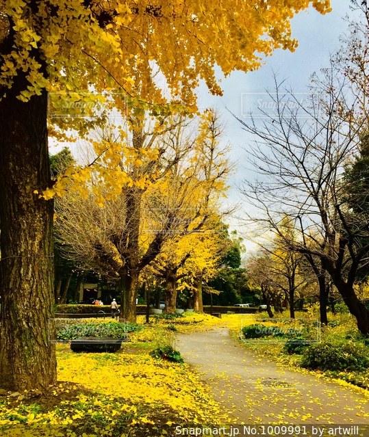 公園の銀杏並木の写真・画像素材[1009991]