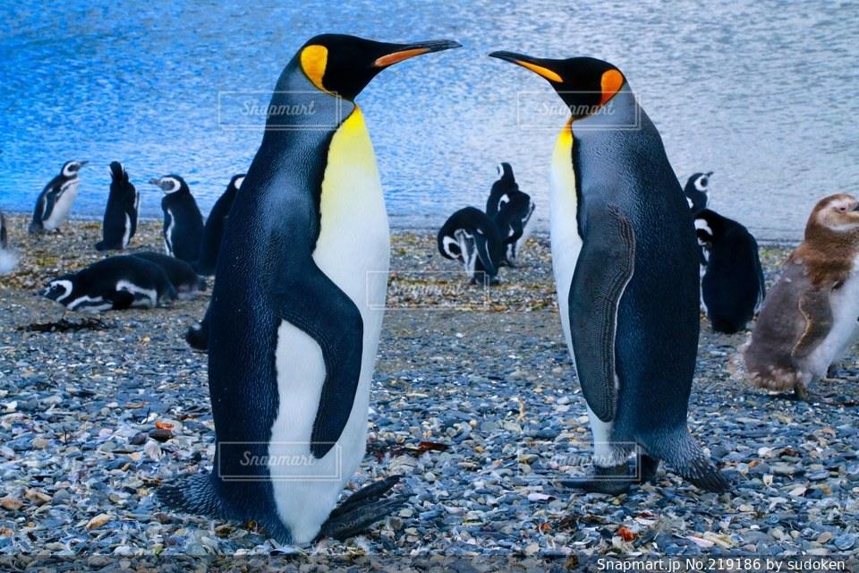 ペンギンの写真・画像素材[219186]