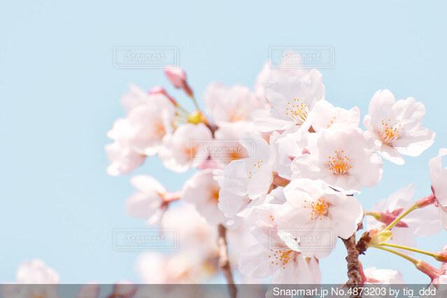 水色と桜の写真・画像素材[4873203]