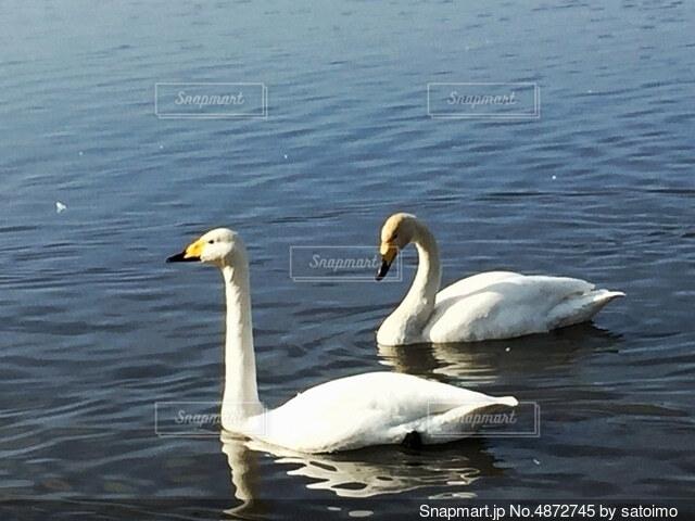 2羽の白鳥の写真・画像素材[4872745]