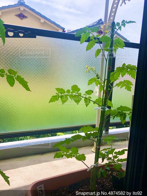 家庭菜園トマトの写真・画像素材[4874582]