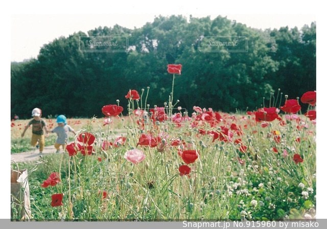 フィールドに赤い花の写真・画像素材[915960]