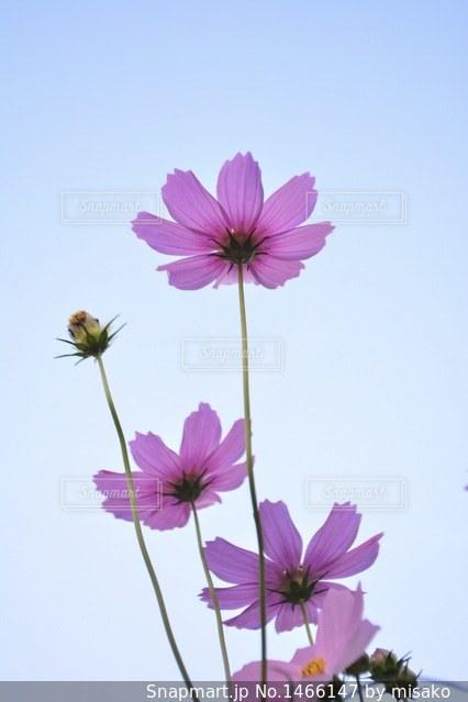 紫色の花一杯の花瓶の写真・画像素材[1466147]