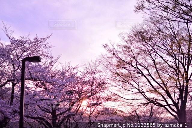 森の大きな木の写真・画像素材[1122565]