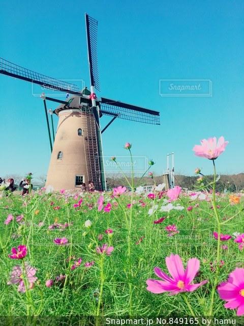 ピンクのコスモスの写真・画像素材[849165]