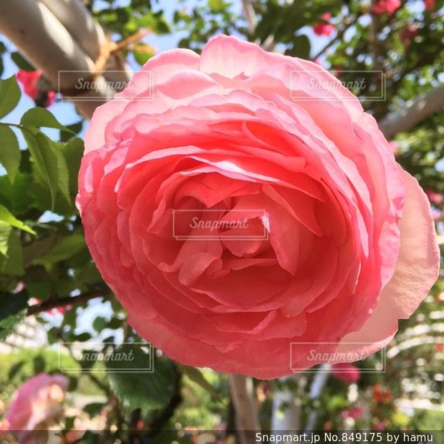 近くの植物にピンクの花のアップの写真・画像素材[849175]