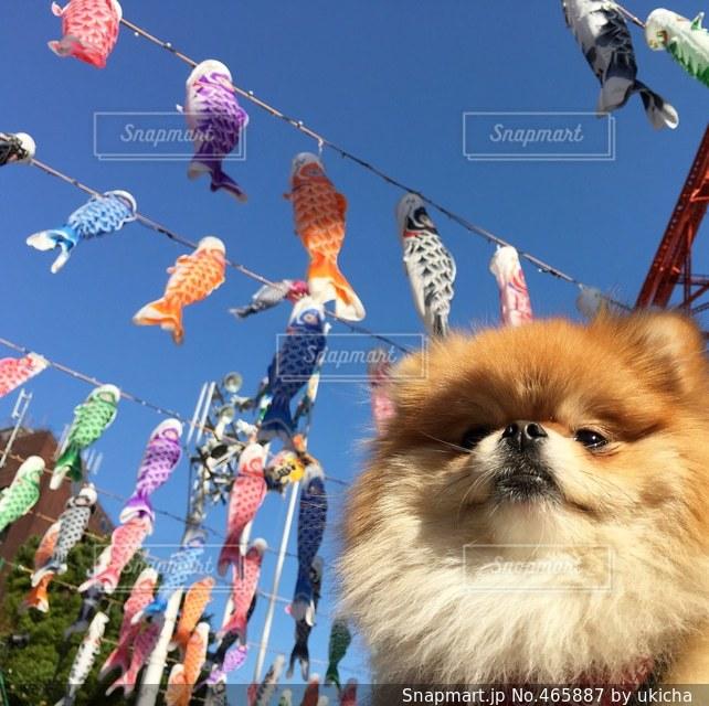 犬の写真・画像素材[465887]