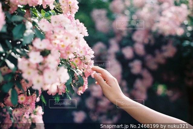 花を持つ手の写真・画像素材[2468199]