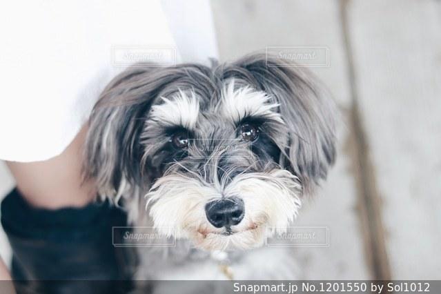 カメラを見て犬の写真・画像素材[1201550]