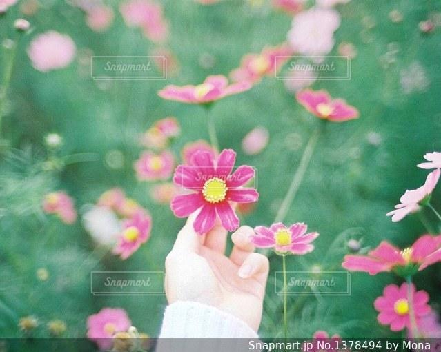 ピンクのコスモスのの写真・画像素材[1378494]