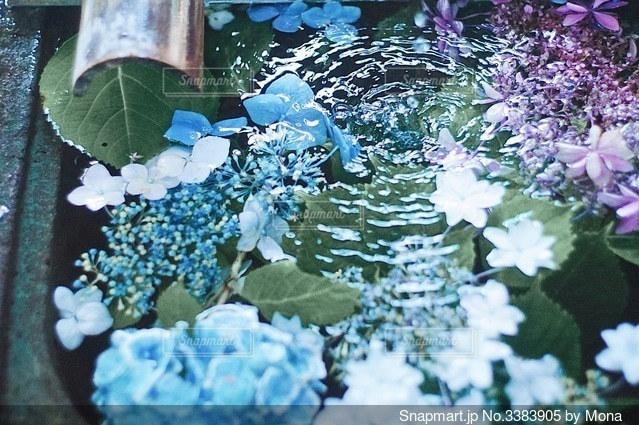 紫陽花と手水の写真・画像素材[3383905]