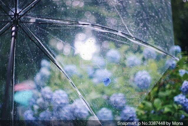雨の日のアジサイの写真・画像素材[3387448]