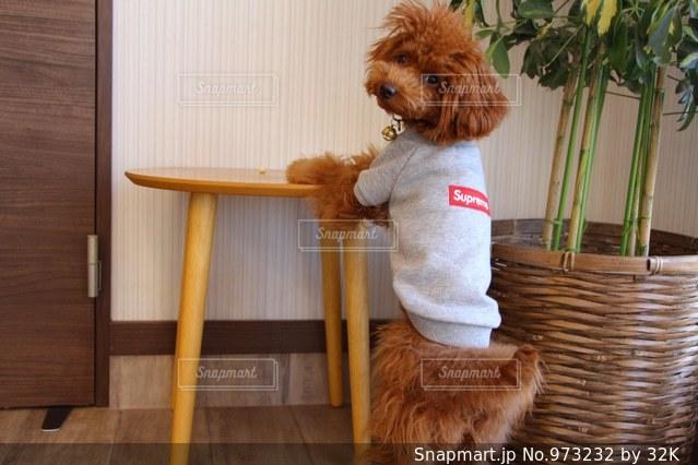 椅子に座っている茶色と白犬の写真・画像素材[973232]
