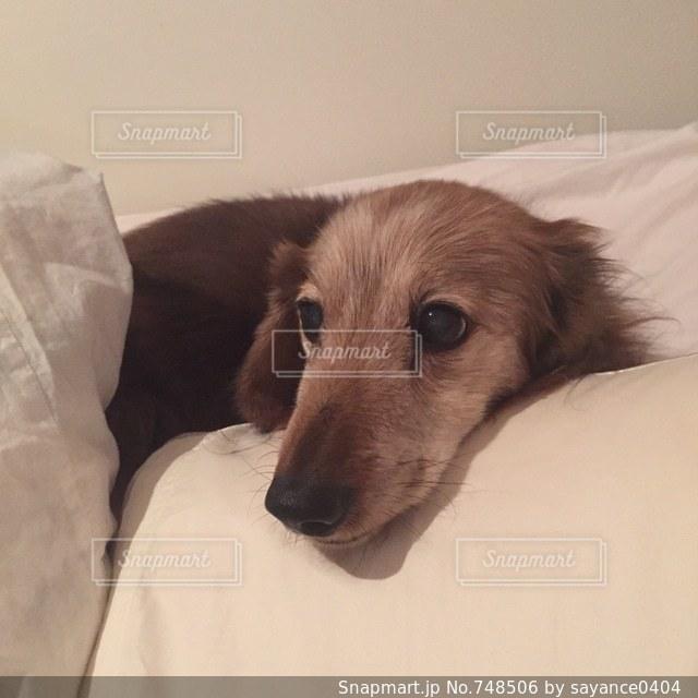 ベッドの上で横になっている茶色と白犬の写真・画像素材[748506]