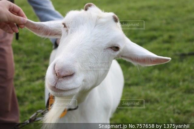 草の上に立っているヤギ覆われたフィールドの写真・画像素材[757658]