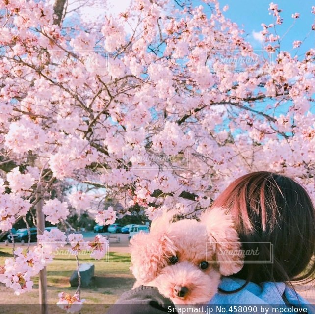 No.458090 桜