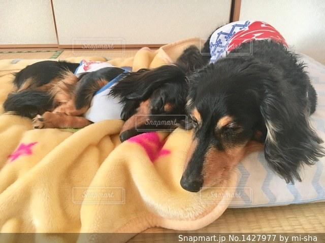 ベッドの上に横たわる犬の写真・画像素材[1427977]