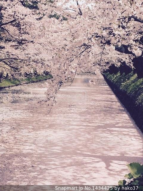 弘前公園の花筏の写真・画像素材[1434425]